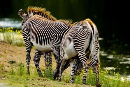 Hoeveel zebra's zie je hier?